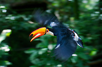 Toco Toucan (Ramphastos toco) flying through the rainforest, Brazil. Is the largest and probably the best known species in the toucan family. It is found in semi-open habitats throughout a large part of central and eastern South America. Image by Andres Morya