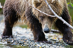 Close-up, a coastal brown bear ( Ursus arctos ) looking while bending under a branch as it approaches, front view, Katmai Peninsula, Alaska