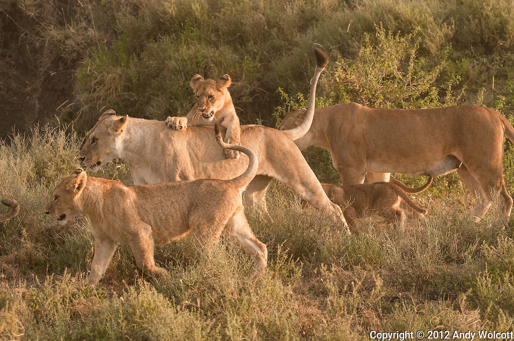 It's early morning playtime for these lion cubs before mother leaves for the day to hunt with the rest of the pride.  The older cubs are left in charge of the little ones.<br />