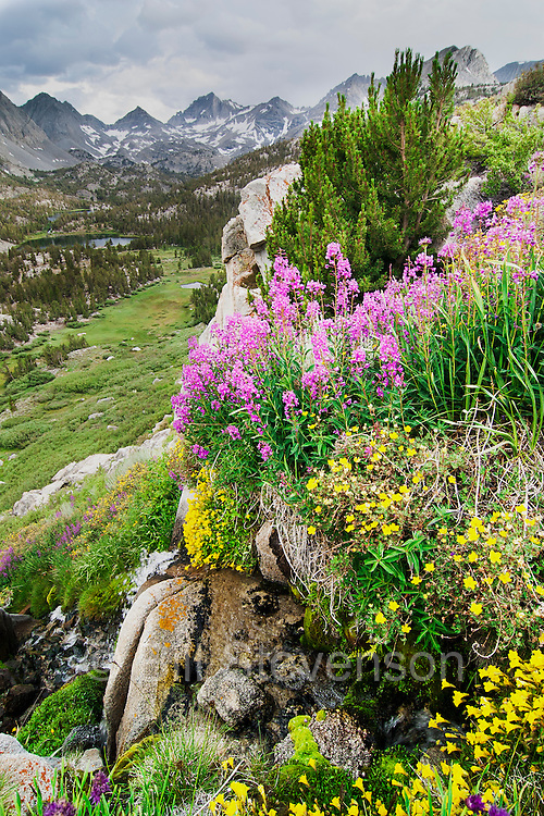 Wildflowers in Rock Creek Canyon of the High Sierra, Ca.