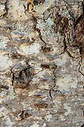 Lichen growing on bark of silver fir.