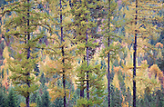 Abstract Portrait of Autumn Tamarak Pines and Autumn Forest, Idaho