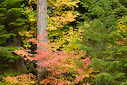 Fall colors of vine maple (Acer circinatum), autumn, Rogue River National Forest, Oregon