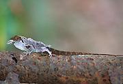 Anole lizard shedding skin, Puerto Rico;