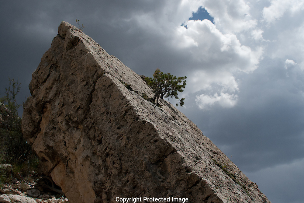 A juniper tree growing from a crack in a slab of Kiabab limestone awaits moisture from a much needed thunderstorm along the rim of Walnut Canyon in northern Arizona.