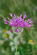 GREATER KNAPWEED Centaurea scabiosa (Asteraceae) Height to 1m. Elegant perennial. Stems are stiff, downy, grooved and swollen beneath the base of the plant. Grows in dry grassland, mainly on calcareous soils. FLOWERS are borne in heads, 3-5cm across, with reddish purple disc florets (the outer ones are elongated, spreading and ray-like) and a swollen base coated with brown bracts; heads are solitary (Jun-Sep). FRUITS are hairless achenes. LEAVES are oblong and deeply pinnate. STATUS-Locally common in S and E England; scarce or absent elsewhere.