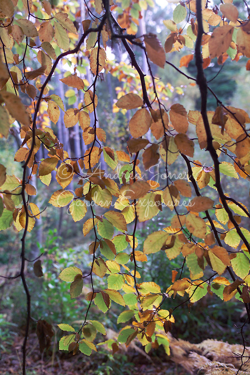 Curtain of hanging Fagus sylvatica (beech) branches and leaves in autumn at Inverewe, Wester Ross, Scotland