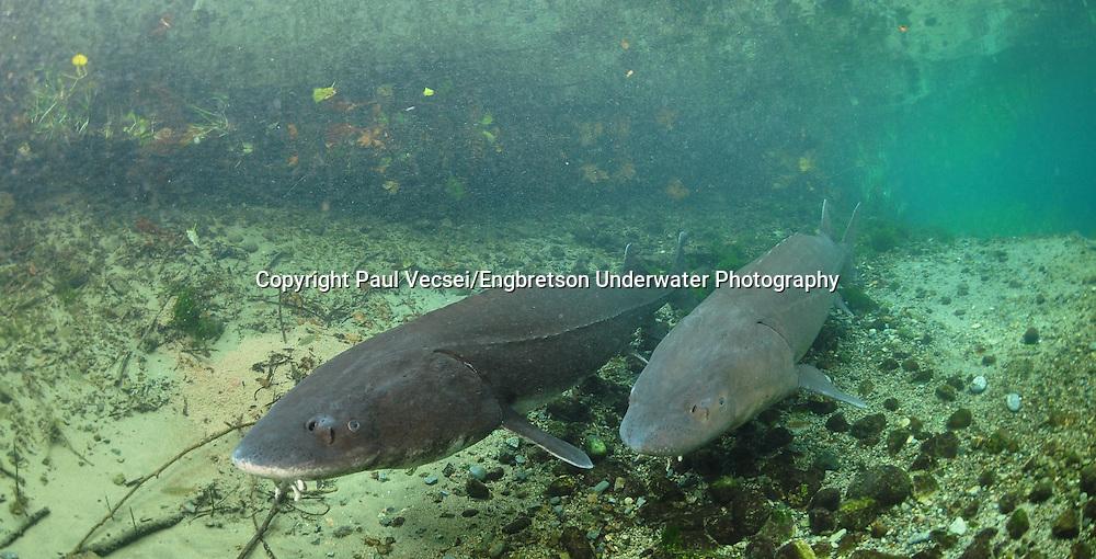 Pair of White Sturgeon<br /> <br /> Paul Vecsei/Engbretson Underwater Photography
