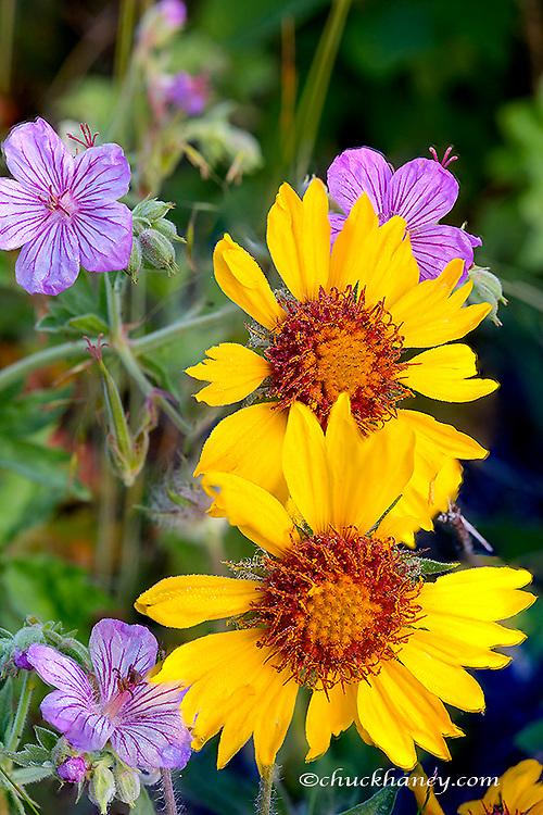 Blanketflower aka brown eyed susans and stick geraniums in Glacier National Park, Montana, USA
