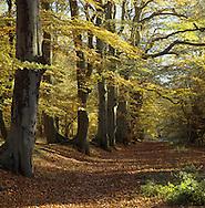 Beech Wood in Autumn