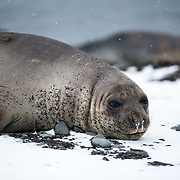 A Southern Elephant seal lies in the snow on the beach on Livingston Island in the South Shetland Islands, Antarctica.