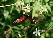 Georgia Butterfly, the Queen Butterfly, a Monarch Butterfly look alike.