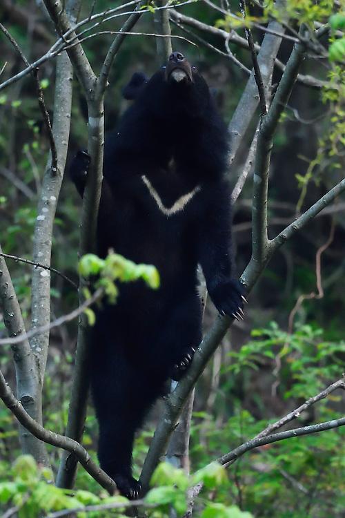 Asian black bear, Ursus thibetanus, Tangjiahe National Nature Reserve, NNR, Qingchuan County, Sichuan province, China
