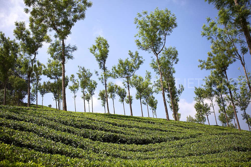 Munnar is one of the most popular hill stations in India.<br /> Sprawling tea plantations make Munnar a unique experience. Munnar is essentially a tea town but now the tea plantations have been taken over by the Tata Tea Company.<br /> Tea or Chai is the most widely drunk beverage in the whole world. The tea plant, Camellia Sansis, is a cultivated variety of a tea plant tree that has its origins in an area between India and China.<br /> Munnar, Kerala, India 2013<br /> &copy;Ingetje Tadros