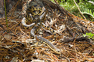Louisiana pine snake (Pituophis ruthveni)<br /> United States: Louisiana: Grant Parish<br /> off of FR 128<br /> Catahoula Ranger District of Kisatchie National Forest<br /> 12-Apr-2017<br /> J.C. Abbott #2930
