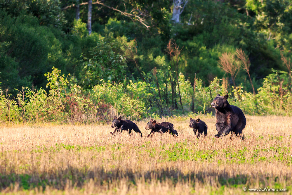 Mother Black Bear and her cubs running across a field. A few moments after they disappeared into the woods another big Black Bear came out .