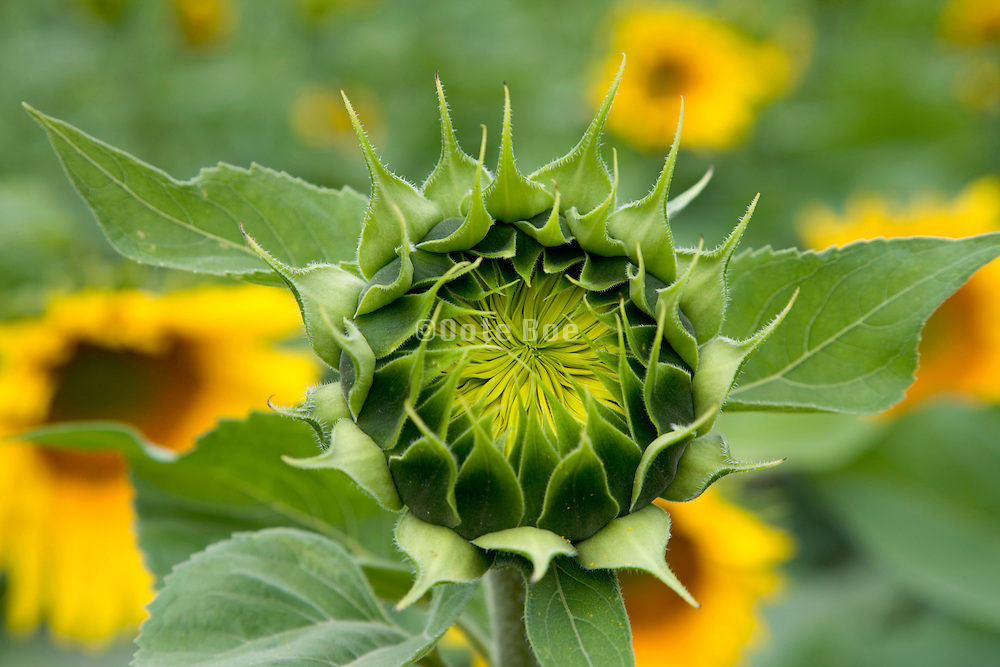 close up of a opening up sunflower in the field