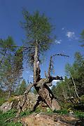 Alte Lärche (Larix) Nationalpark Hohe Tauern, Österreich.