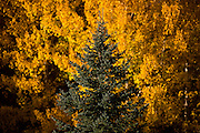 BEST2 Yellow Aspen tree leaves light up the background behind a pine tree along Peak to Peak Highway west of Longmont.<br /> Matthew Jonas / Staff Photographer Sept. 27, 2015