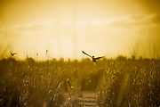 Wild duck flying over Reeds, Fivebough Wetlands, Leeton, Western NSW, Australia