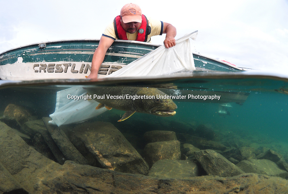 Lake Trout (being released)<br /> <br /> Paul Vecsei/Engbretson Underwater Photography