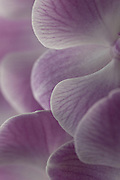 EXTREME CLOSE UPS OF PURPLE ORCHID FLOWER