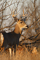 MATURE WHITETAIL BUCK