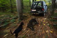 4WD car pulling a Wild boar (Sus scrofa) sow shot during a driving hunt through the forest area outside the village of Mehadia, Caras Severin, Romania.