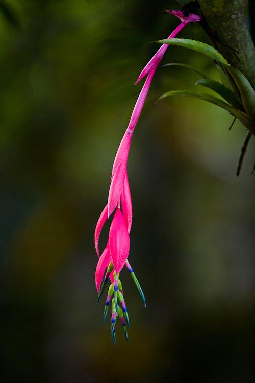Nova Lima_MG, Brasil...Bromelia na Reserva Ecologica dos Fechos...The bromeliad in Reserva Ecologica dos Fechos...Foto: JOAO MARCOS ROSA / NITRO