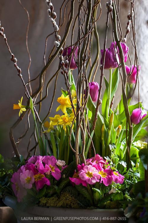 Spring planting of pink primulas, yellow narcissus and purple tulips with pussy willow and corkscrew willow branches in flower pots.