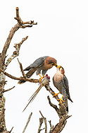 A male lanner falcon (Falco biarmicus) is feeding the female with a killed mousebird, Murchison Falls National Park, Uganda