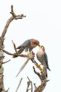 Ein Paar des Rothalsfalken (Falco chicquera) teilt sich die Beute eines getöteten Mausvogels, Murchison Falls National Park, Uganda<br /> <br /> A pair of Red-necked falcon (Falco chicquera) shares the prey of a killed mouse bird, Murchison Falls National Park, Uganda