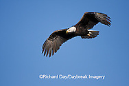 00807-035.15 Bald Eagle (Haliaeetus leucocephalus) in flight over Mississippi River, Alton, IL