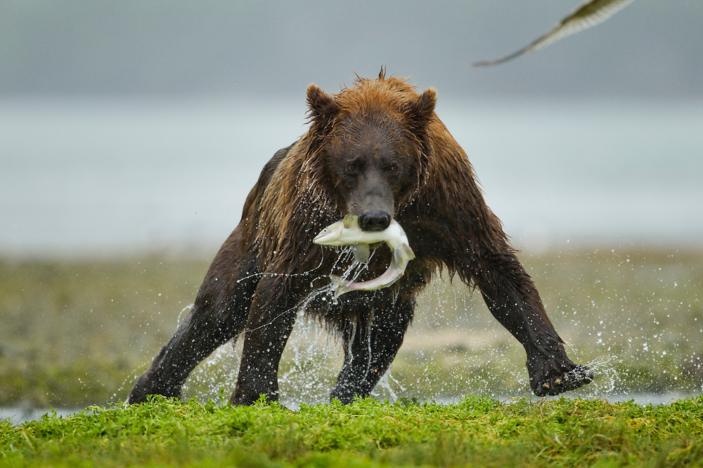 USA, Alaska, Katmai National Park, Grizzly Bear (Ursus arctos) carries salmon from pawning stream along Geographic Harbor on rainy summer day