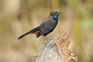 Indian Robin - Saxicoloides fulicatus