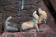 California sea lions rest on rocks near a cliff at Los Islotes, Baja California, Mexico.