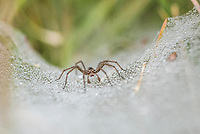 Funnel-Web Spider, Agulhas National Park, Western Cape, South Africa
