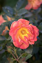 Rosa Pumpkin Patch syn. 'Wekmongros'