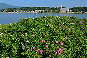Roses along the Gulf of St. Lawrence<br /> Iles Aux Coudres<br /> Quebec<br /> Canada