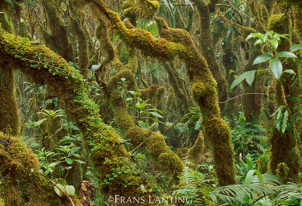 Mossy rainforest, Kamakou Preserve, Molokai, Hawaii