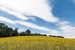 © Licensed to London News Pictures. 05/08/2020. CHORLEYWOOD, UK.  General view of sunflowers on a warm, sunny day which are currently in full bloom, growing in a wheat field, near Chorleywood in Hertfordshire.  The forecast is for much temperatures exceeding 30C by the end of the week..  Photo credit: Stephen Chung/LNP