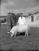 1953 - 2nd Annual of Pedigree of Irish Large White Pigs