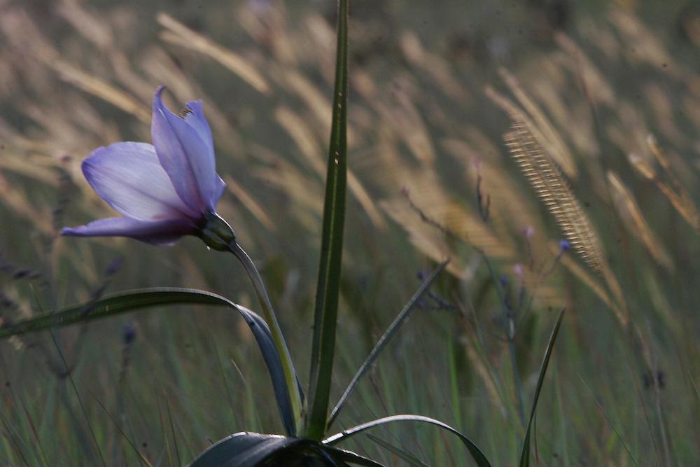 Nova Lima_MG, Brasil.<br /> <br /> Fotos do Condominio Pasargada em Nova Lima, Minas Gerais. Na foto detalhe de Candomba (Vellozia variabilis).<br /> <br /> Pasargada Condominium in Nova Lima, Minas Gerais. In this photo  the flowering plant Vellozia variabilis.<br /> <br /> Foto: JOAO MARCOS ROSA / NITRO