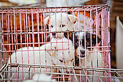 Puppies for sale in a cage at Seomun market in the South Korean city of Daegu.