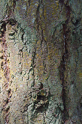Tree Bark Close-up at English Camp, San Juan Island, Washington, US