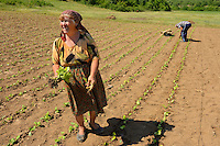 Tobacco growing lady of Turkish heritage, Bela Reka, Eastern Rhodope mountains, Bulgaria