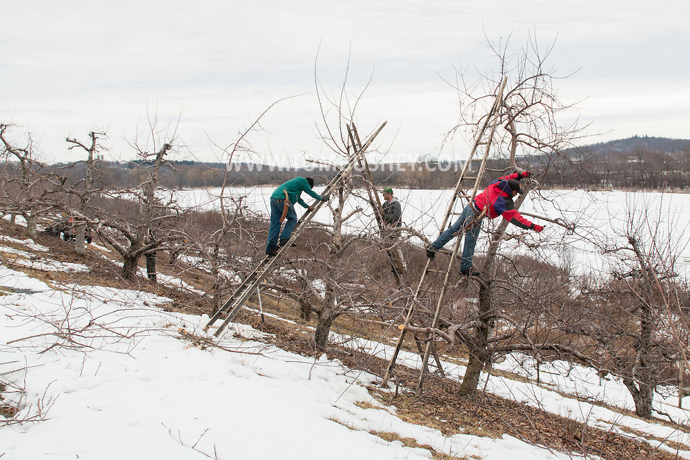 New Hampton, New York - Workers prune apple trees at Soons Orchards on March 16, 2015.