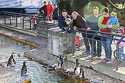 Mannheim. 16.02.17 | BILD- ID 040 |<br /> Luisenpark. Der aus dem Mannheimer Luisenpark verschwundene Pinguin ist tot. Das meldet die Polizei. Am Donnerstagmorgen gegen 8.30 Uhr habe ein Zeuge ihn am Rande eines Parkplatzes in der Museumstraße in der Mannheimer Oststadt gefunden. Anhand der Flügelmarke konnte das Tier identifiziert werden. Noch sei unklar, ob der Täter es dort tot abgelegt habe, oder ob es zu diesem Zeitpunkt noch lebte. Der Pinguin sei zwar ohne Kopf aufgefunden worden, aber die Polizei schließt nicht aus, dass sich ein anderes Tier an ihm zu schaffen gemacht hat. Der leblose Körper werde im Chemischen und Veterinäruntersuchungsamt in Karlsruhe (CVUA) untersucht, die Staatsanwaltschaft habe ein Ermittlungsverfahren gegen unbekannt eingeleitet. Die Behörden schließen aus, dass der fünf Kilogramm schwere und bis zu 60 Zentimeter große Pinguin von einem Wildtier gerissen oder aus dem Gehege im Luisenpark entlaufen sein könnte.<br /> Bild: Markus Prosswitz 16FEB17 / masterpress (Bild ist honorarpflichtig - No Model Release!)