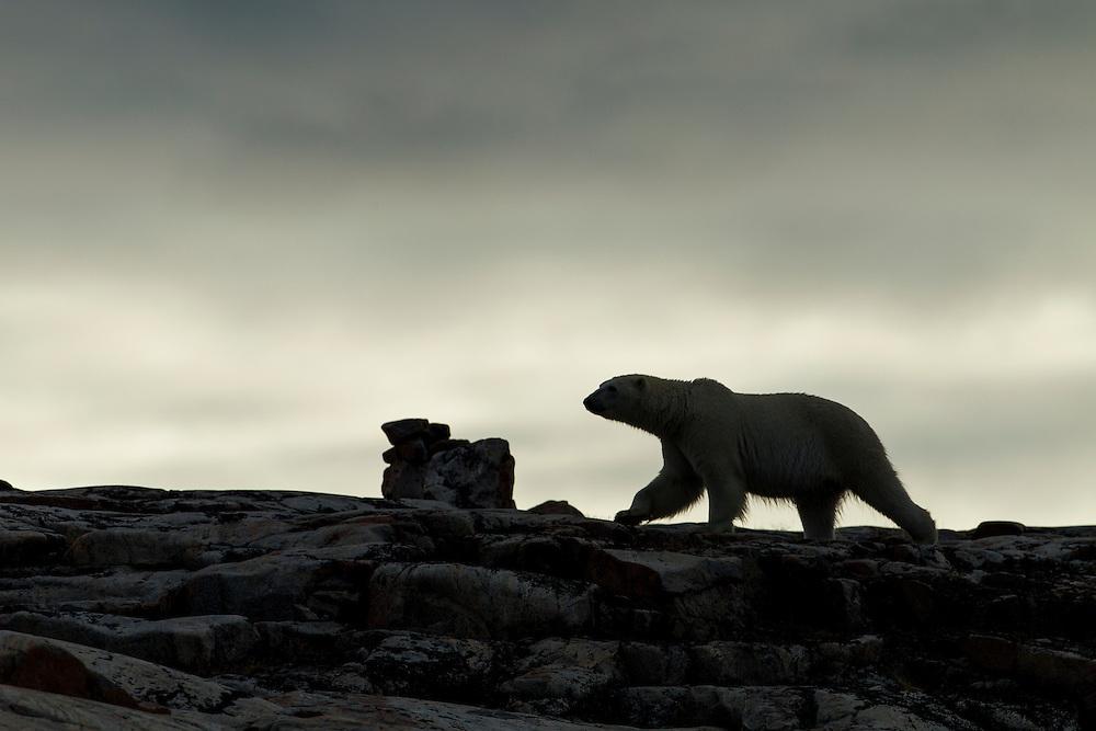 Canada, Nunavut Territory, Repulse Bay, Silhouette of Polar Bear (Ursus maritimus) walking along ridge of Harbour Islands along Hudson Bay on summer morning