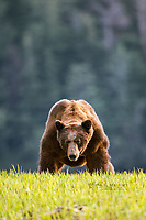 Giant male grizzly bear in the Khutzeymateen Grizzly Bear Sanctuary in the Great Bear Rainforest, British Columbia, Canada